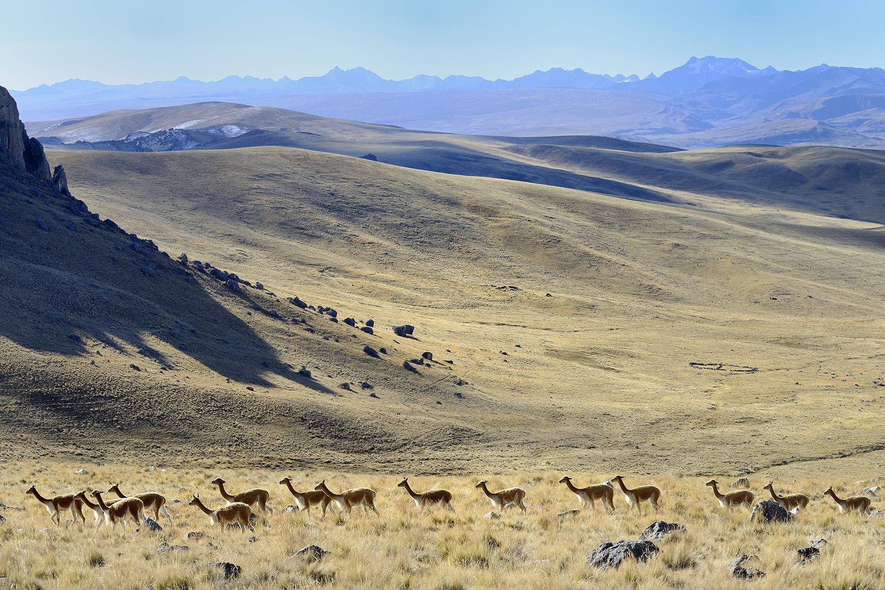 Peru, region of Puno (Titicaca), province of San Antonio De Putina. Community of Picotani (includes 3 villages Picotani, Toma and Cambria). Vicuna (Vicugna, Vigogne).
