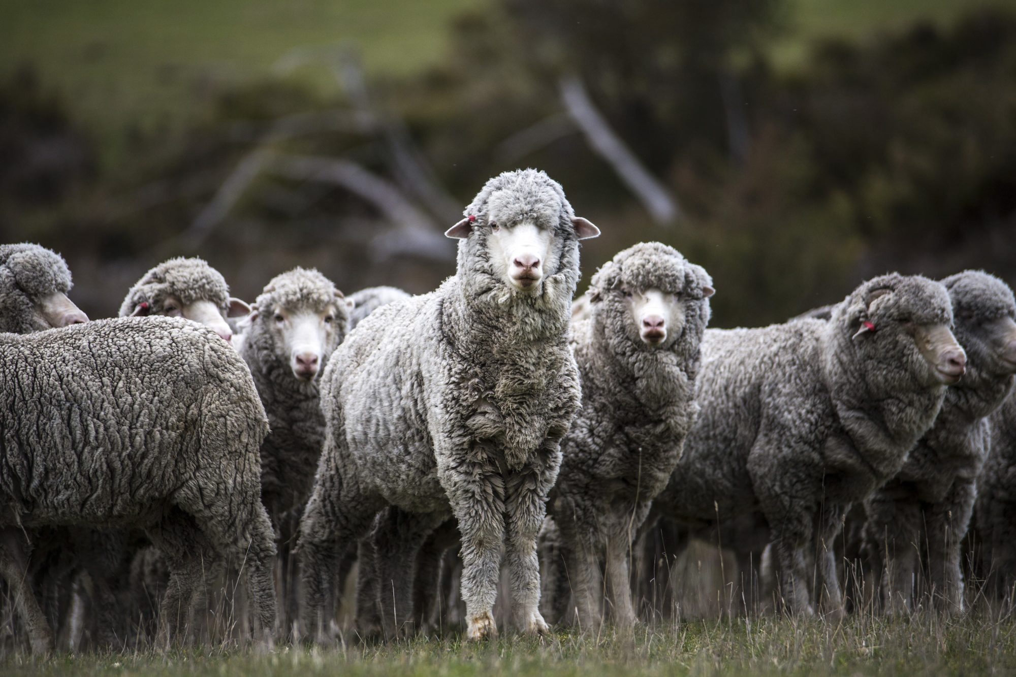 Un mouton laine merinos